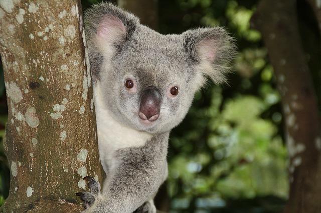 malá koala