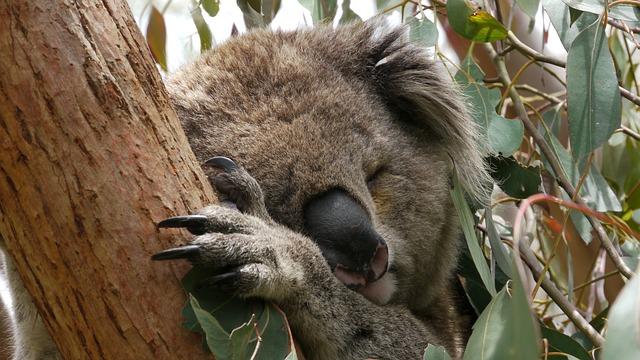 spící koala
